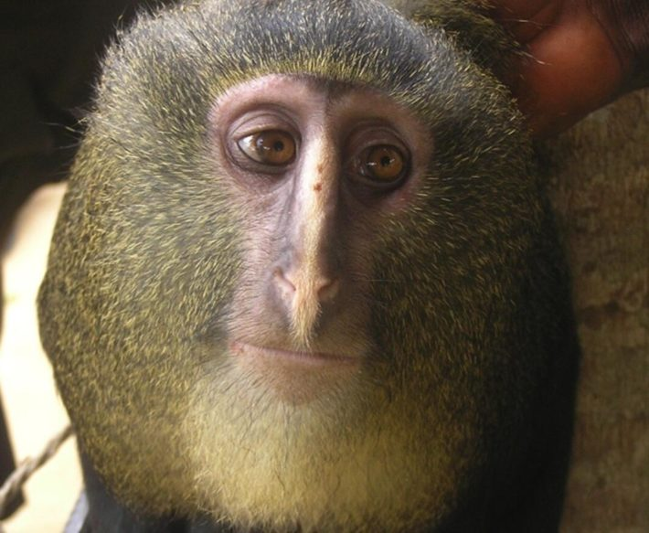 Cercopithecus lomamiensis is endemic to Congo.