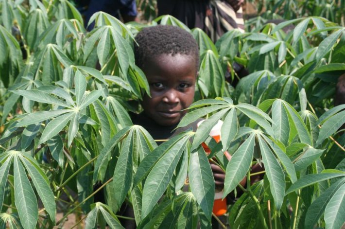 The boy stands in a field of disease resistant cassava.