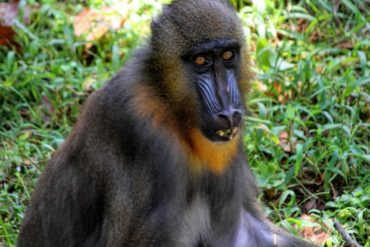 The mainland part has a rich mammal wildlife such as mandrill. Mandrill is a primate species in the animal monkey family.