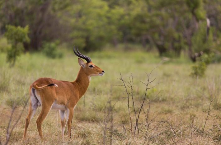 Kob ( antelope species ) photographed in Comoe National Park in the northeast corner of the Ivory Coast.