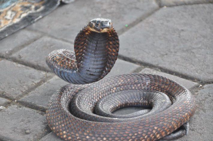 Cobra in Marrakech, Morocco