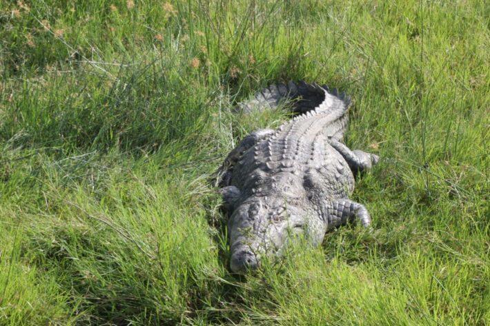 Crocodile in Murchison Falls National Park
