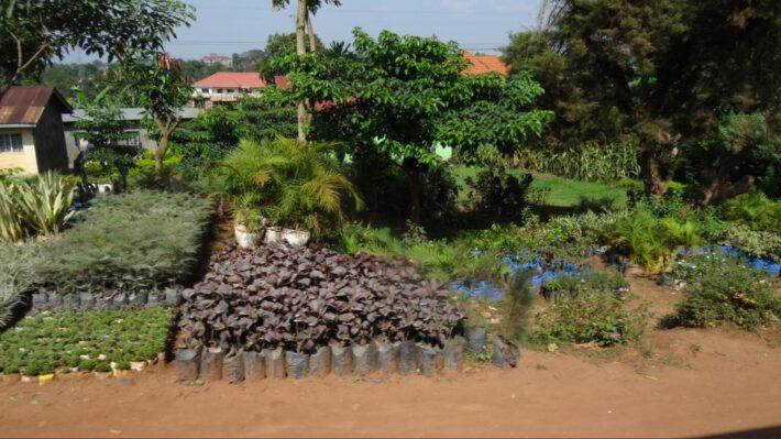 Interest in trees is increasing, and tree nurseries like here in Kampala