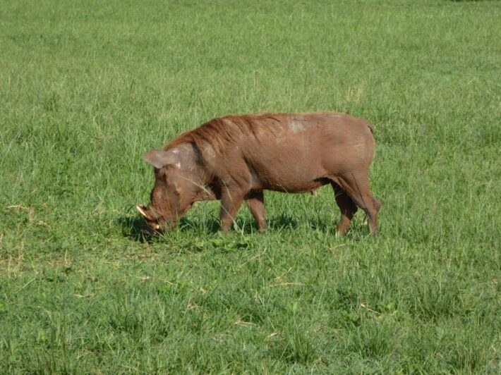 Warthog in Kidepo National Park